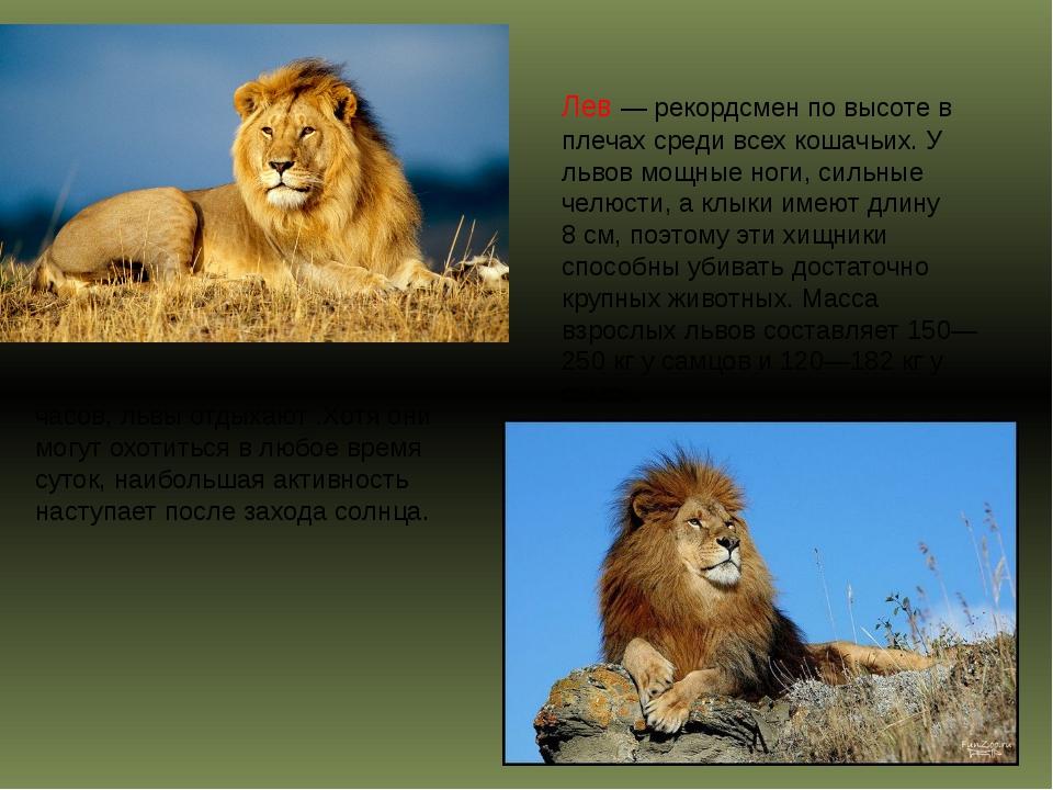 Бо́льшую часть суток, около 20 часов, львы отдыхают .Хотя они могут охотиться...