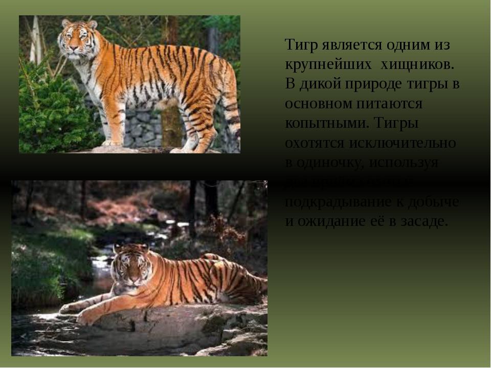 Тигр является одним из крупнейших хищников. В дикой природе тигры в основно...