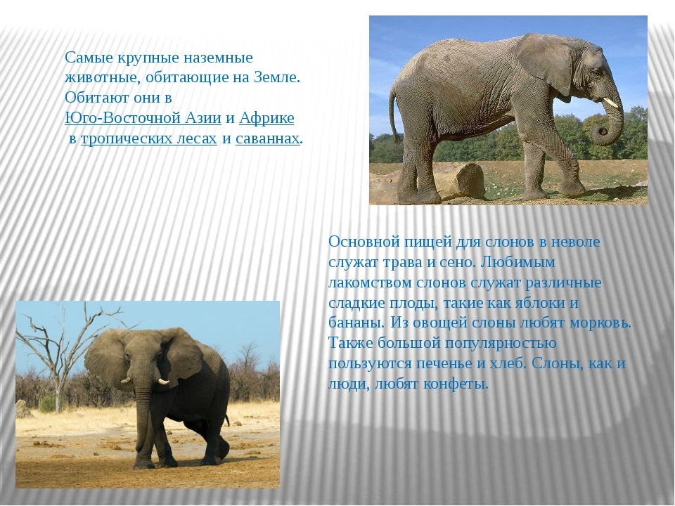 Самые крупные наземные животные, обитающие на Земле. Обитают они вЮго-Восточ...