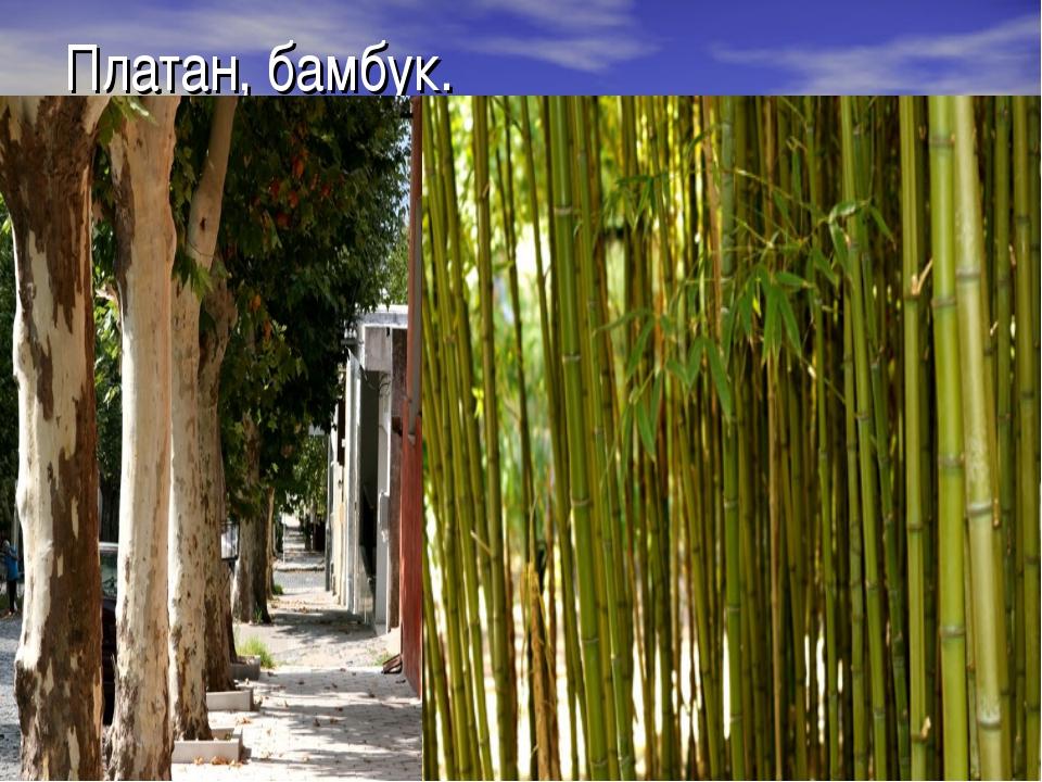Платан, бамбук.