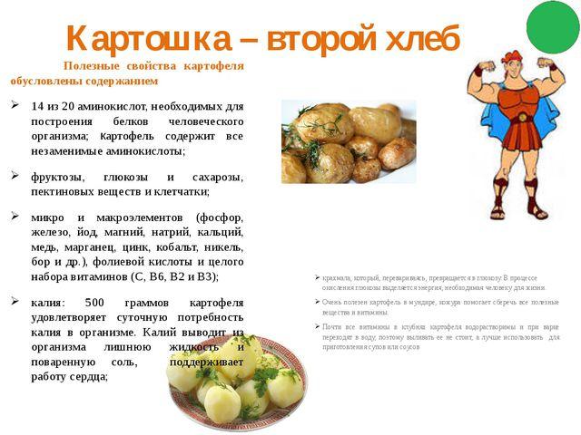 Картошка – второй хлеб Полезные свойства картофеля обусловлены содержанием 14...