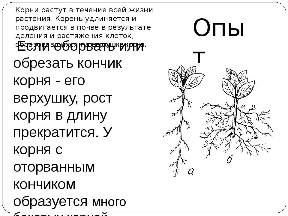 Если оборвать или обрезать кончик корня - его верхушку, рост корня в длину п...