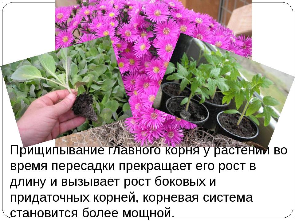 Прищипывание главного корня у растений во время пересадки прекращает его рост...