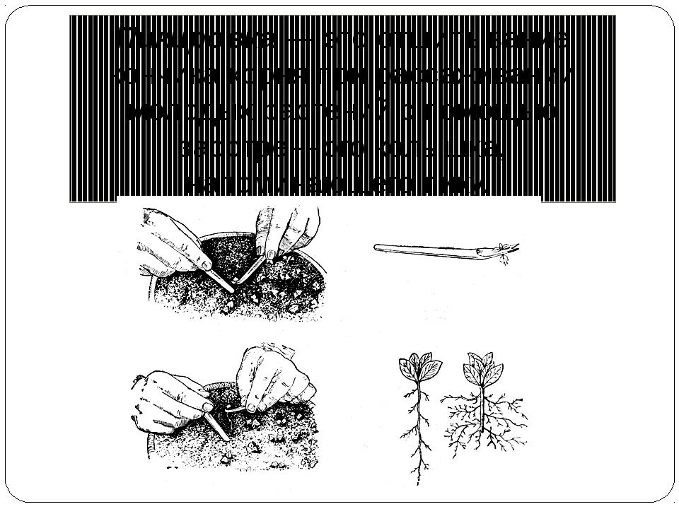 Пикировка — это отщипывание кончика корня при рассаживании молодых растений с...