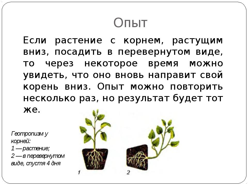 Если растение с корнем, растущим вниз, посадить в перевернутом виде, то через...