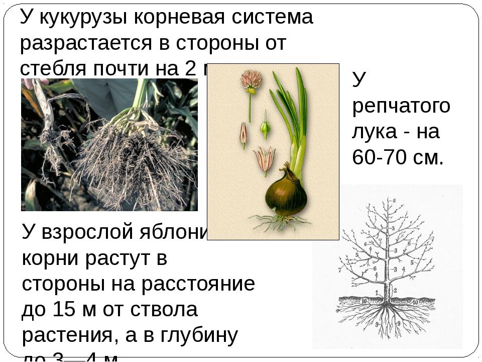 У кукурузы корневая система разрастается в стороны от стебля почти на 2 м, У...