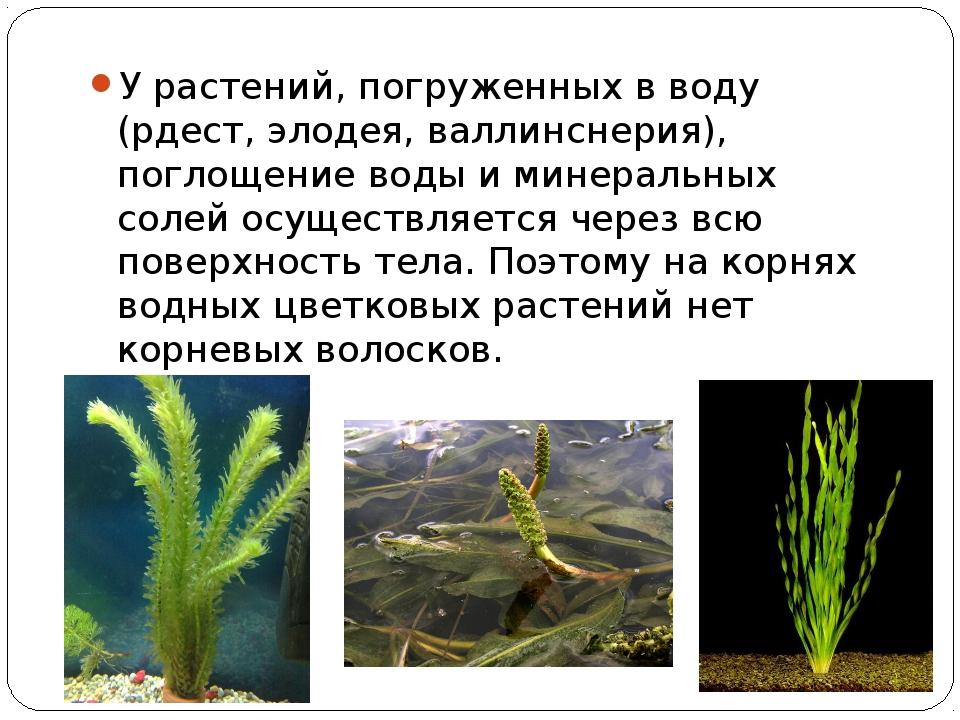 У растений, погруженных в воду (рдест, элодея, валлинснерия), поглощение воды...