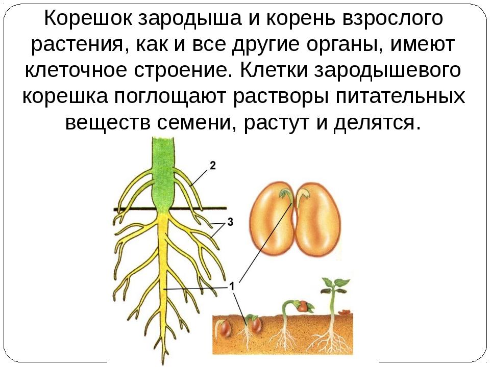 Корешок зародыша и корень взрослого растения, как и все другие органы, имеют...