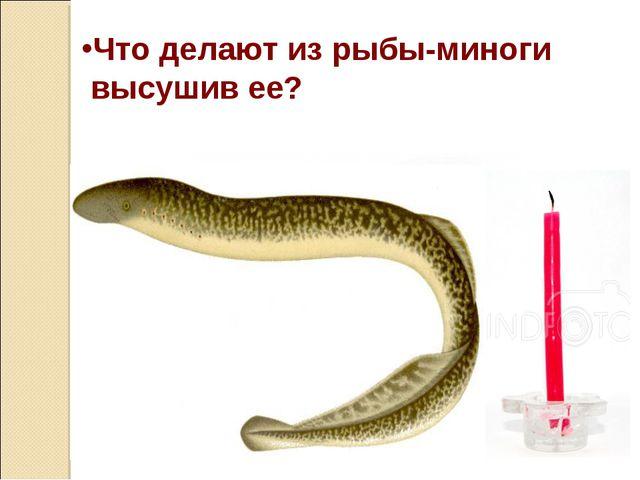 Что делают из рыбы-миноги высушив ее?