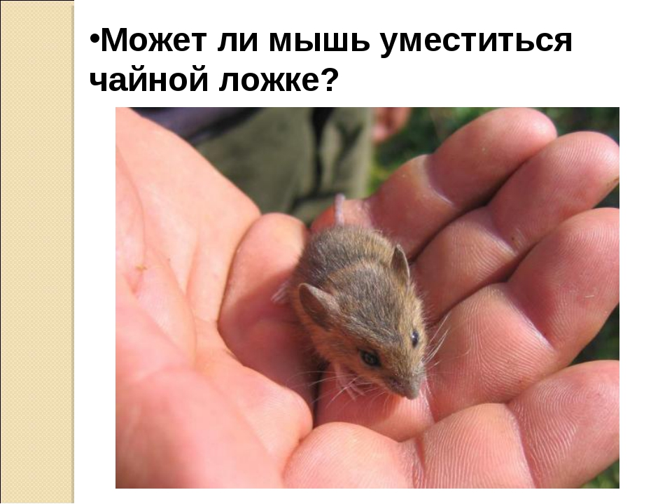 Может ли мышь уместиться чайной ложке?