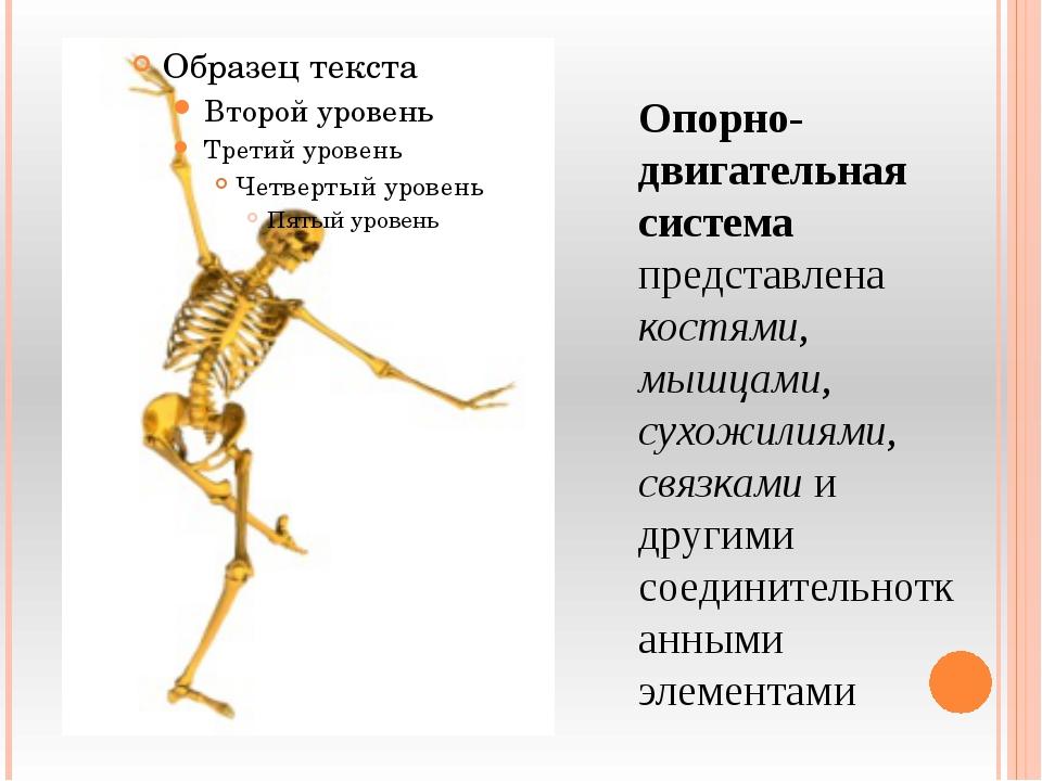 Опорно-двигательная система представлена костями, мышцами, сухожилиями, связк...