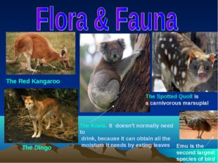 The Red Kangaroo The Spotted Quoll is a carnivorous marsupial The Koala. It d