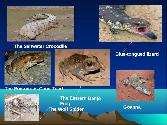 The Saltwater Crocodile Blue-tongued lizard Goanna The Eastern Banjo Frog The...