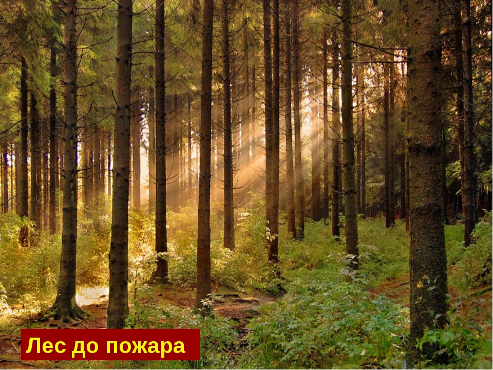 Лес до пожара