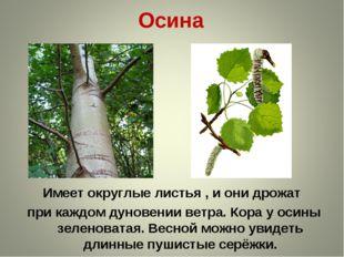 Осина Имеет округлые листья , и они дрожат при каждом дуновении ветра. Кора у