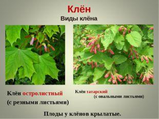 Клён Виды клёна Клён остролистный (с резными листьями) Клён татарский (с овал