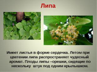 Липа Имеет листья в форме сердечка. Летом при цветении липа распространяет чу