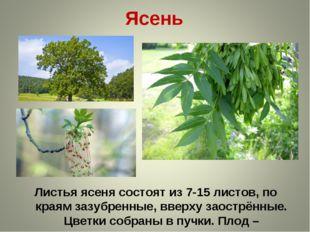 Ясень Листья ясеня состоят из 7-15 листов, по краям зазубренные, вверху заост