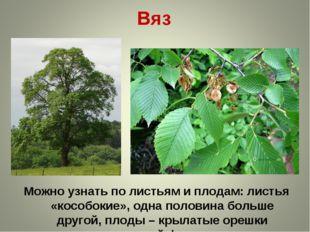 Вяз Можно узнать по листьям и плодам: листья «кособокие», одна половина больш