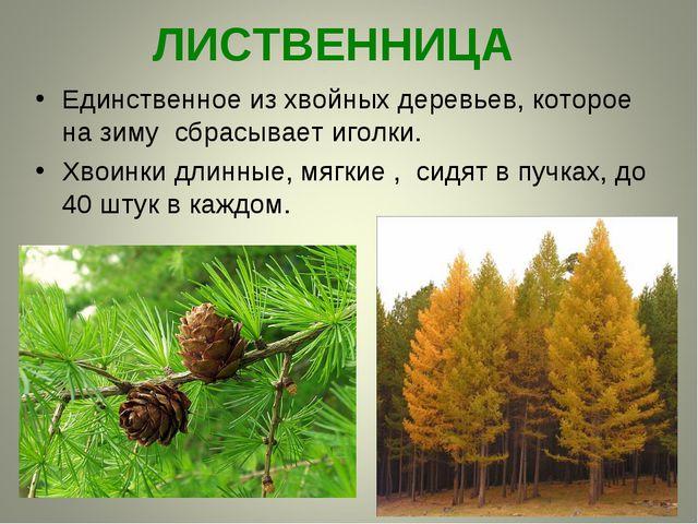 ЛИСТВЕННИЦА Единственное из хвойных деревьев, которое на зиму сбрасывает игол...