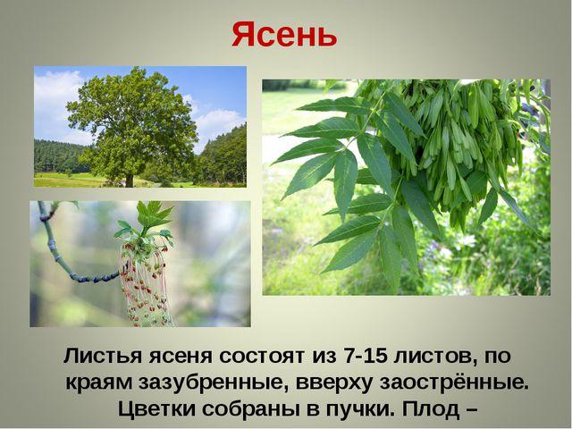 Ясень Листья ясеня состоят из 7-15 листов, по краям зазубренные, вверху заост...