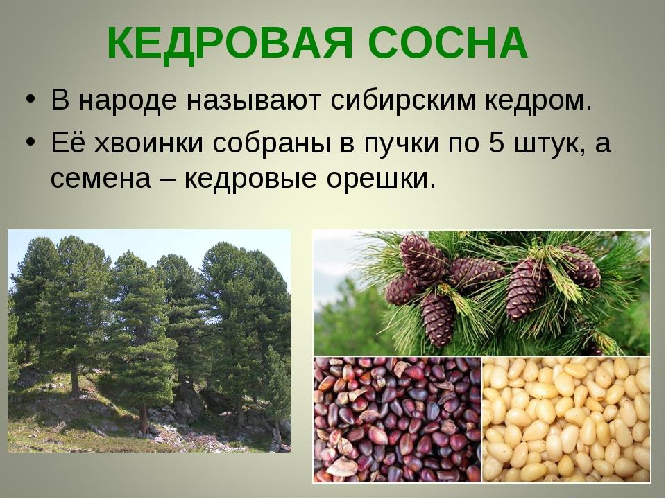 КЕДРОВАЯ СОСНА В народе называют сибирским кедром. Её хвоинки собраны в пучки...