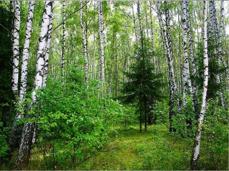 Смешанные леса К югу на смену тайге приходит смешанный лес. Многолетней мерзл...