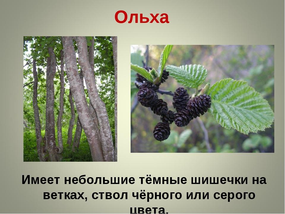 Ольха Имеет небольшие тёмные шишечки на ветках, ствол чёрного или серого цвета.