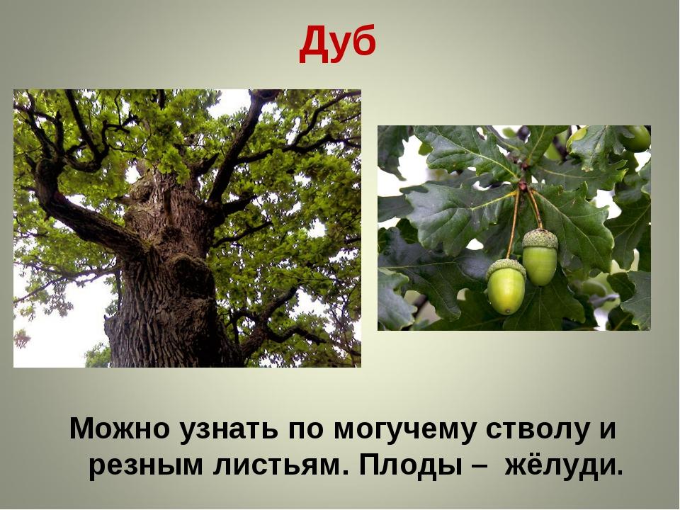 Дуб Можно узнать по могучему стволу и резным листьям. Плоды – жёлуди.