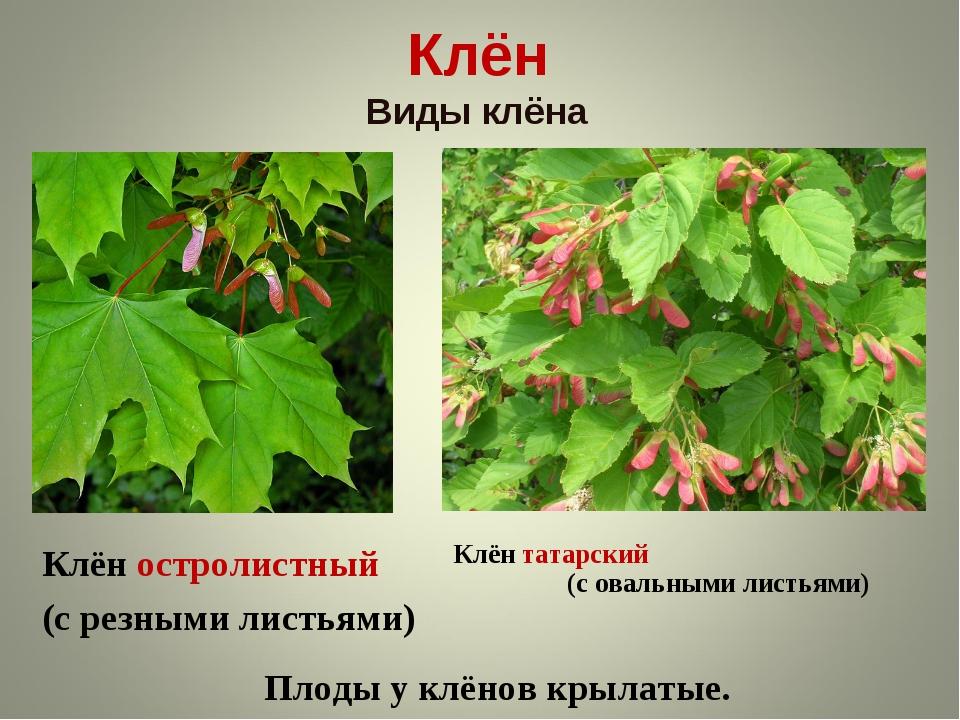 Клён Виды клёна Клён остролистный (с резными листьями) Клён татарский (с овал...