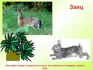 Заяц Заяц живет в норке, которую роет в кустах, так он прячется от хищников –