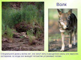 Волк Специального дома у волка нет, они могут жить в расщелине скалы или заро