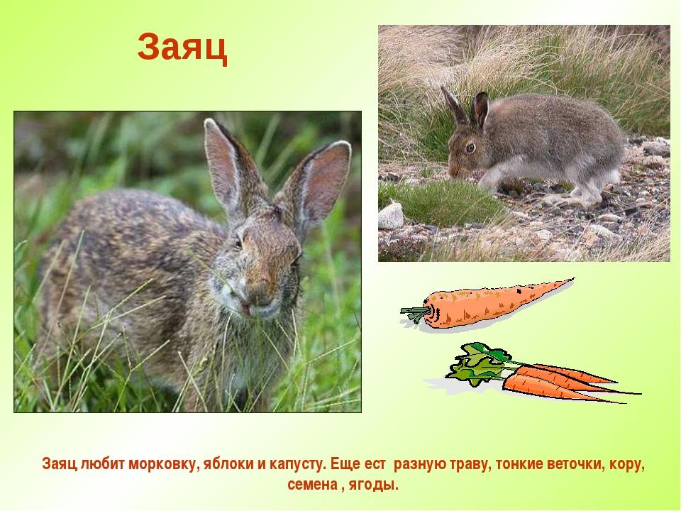 Заяц Заяц любит морковку, яблоки и капусту. Еще ест разную траву, тонкие вето...