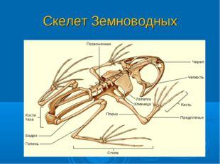 Скелет Земноводных