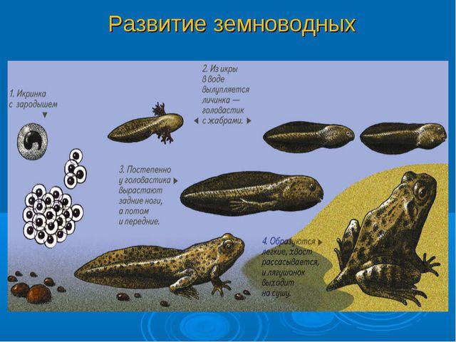 Развитие земноводных РАЗВИТИЕ Развитие лягушки происходит с превращением.