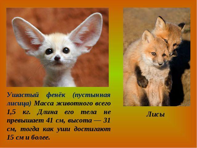 Ушастый фенёк (пустынная лисица) Масса животного всего 1,5 кг. Длина его тела...