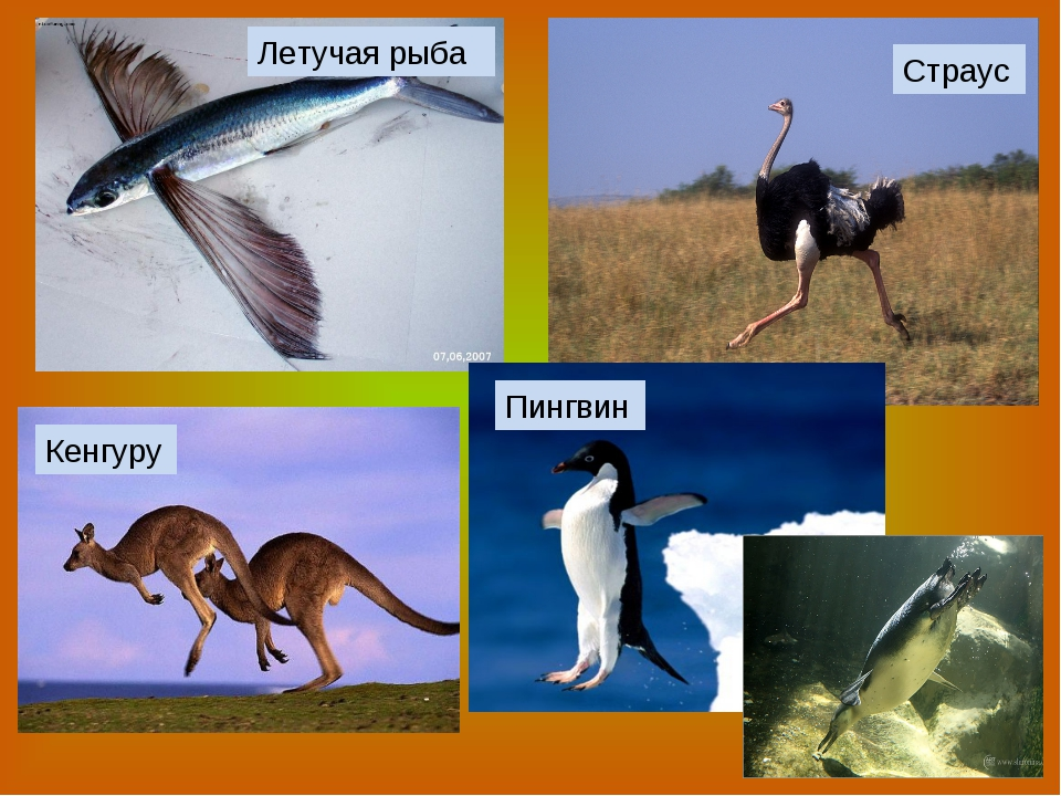 Летучая рыба Страус Кенгуру Пингвин