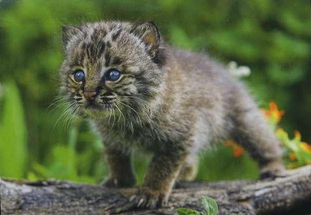 В Комсомольском зооцентре родился детеныш рыси