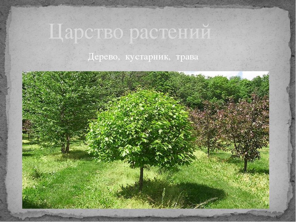 Царство растений Дерево, кустарник, трава