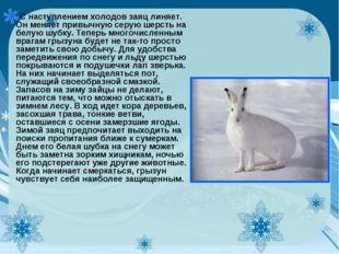С наступлением холодов заяц линяет. Он меняет привычную серую шерсть на белую