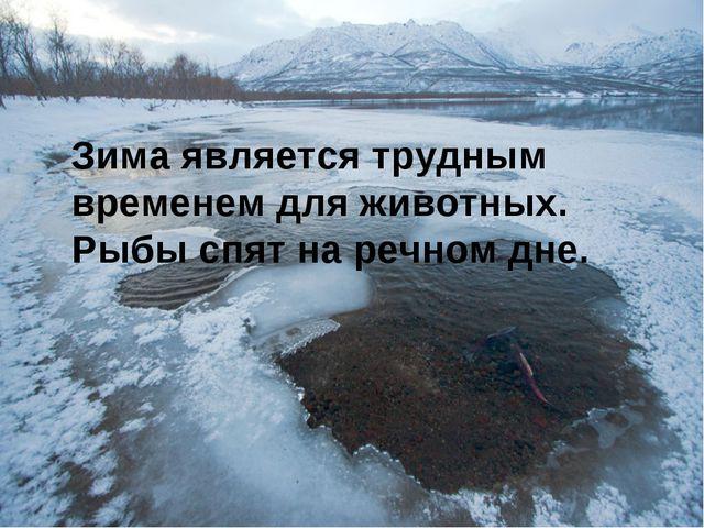 Зима является трудным временем для животных. Рыбы спят на речном дне.
