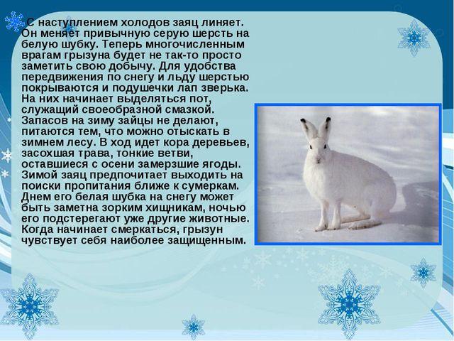 С наступлением холодов заяц линяет. Он меняет привычную серую шерсть на белую...