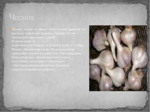 Чеснок, чеснок посевной- многолетнее травянистое растение семейства луковых.
