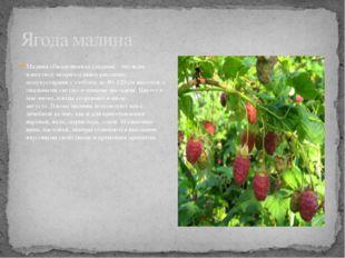 Малина обыкновенная (лесная) - это всем известное неприхотливое растение, пол