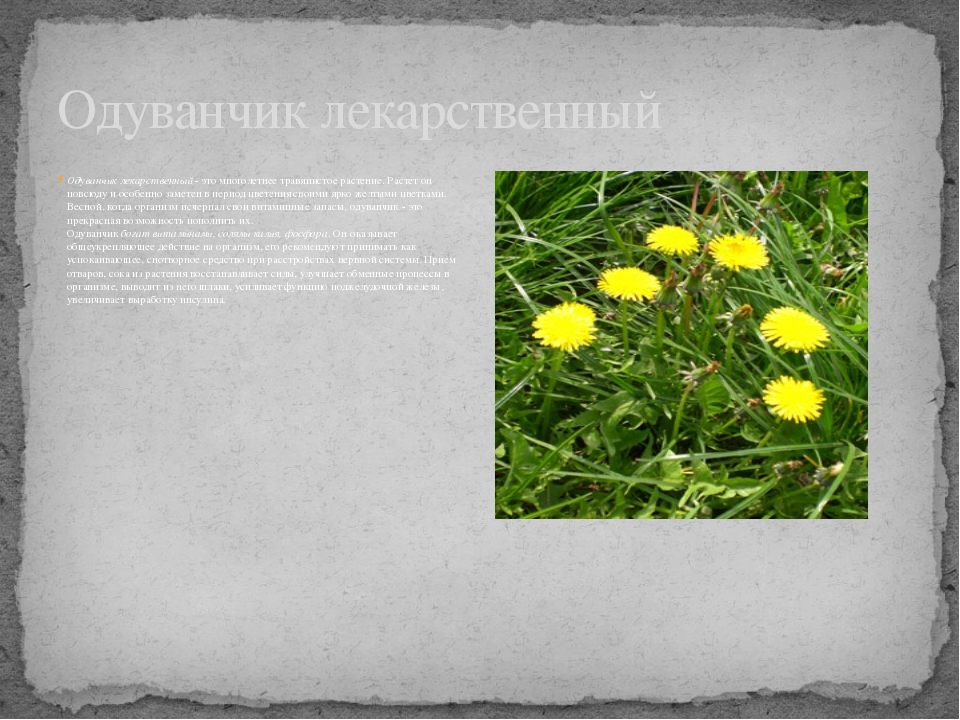Одуванчик лекарственный- это многолетнее травянистое растение. Растет он пов...