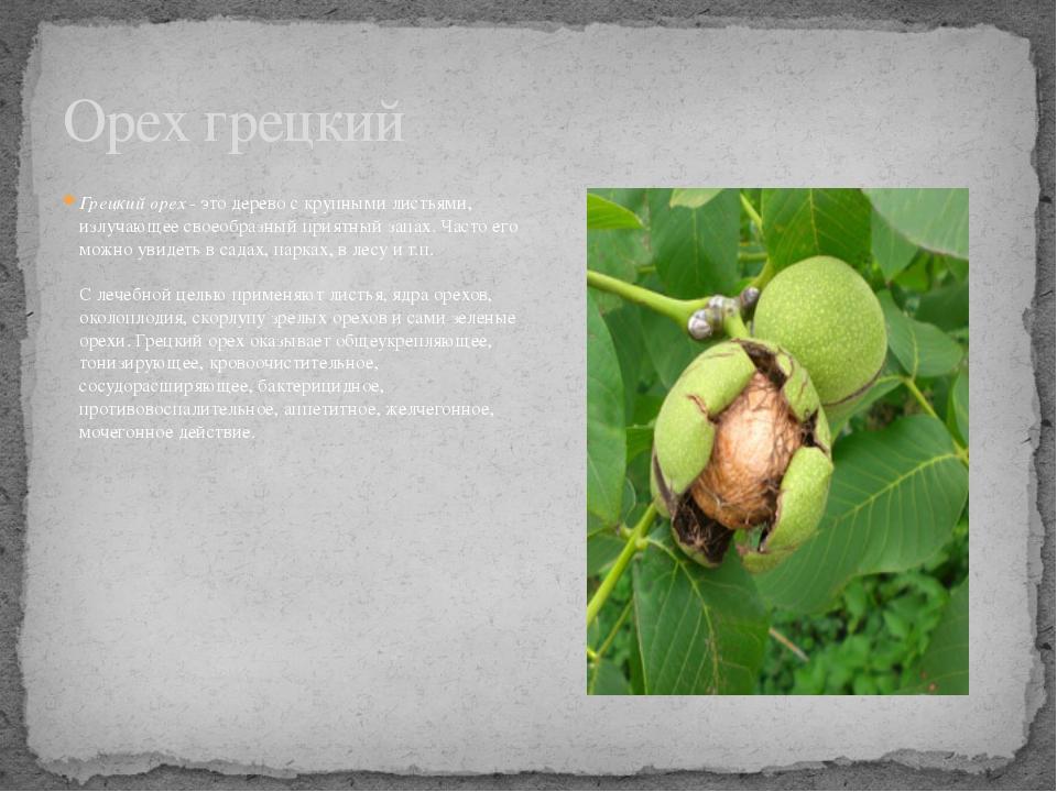 Грецкий орех- это дерево с крупными листьями, излучающее своеобразный приятн...