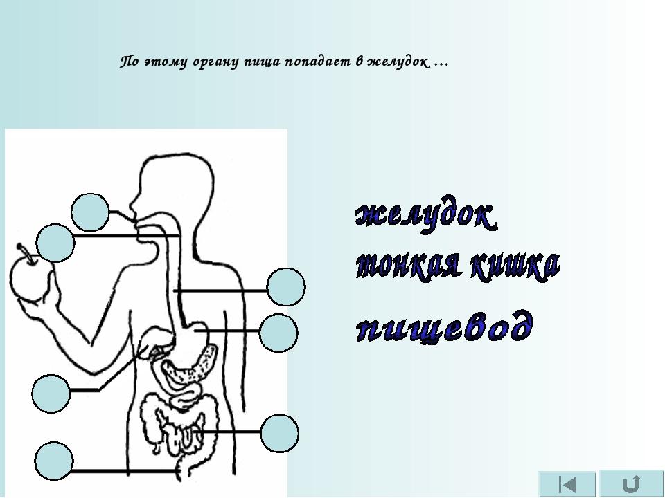 По этому органу пища попадает в желудок …