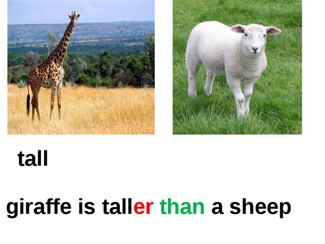 tall A giraffe is taller than a sheep