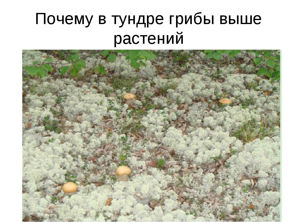 Почему в тундре грибы выше растений
