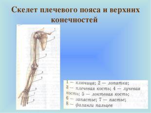 Скелет плечевого пояса и верхних конечностей